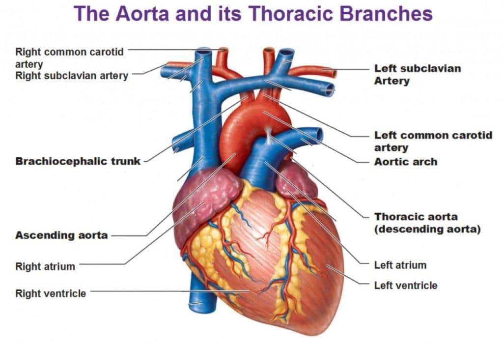 Причины сифилитического аортита