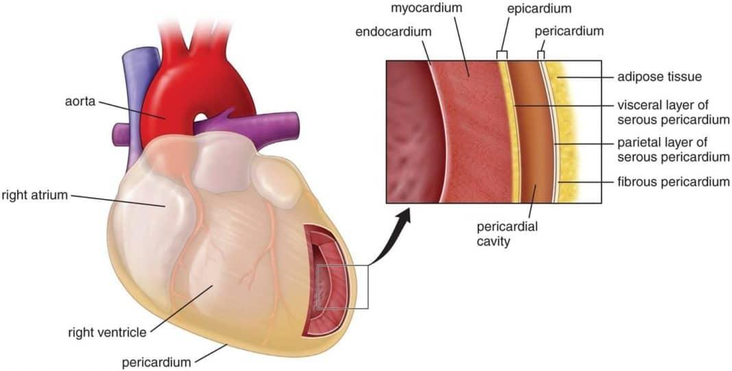 Ткани сердца - схема