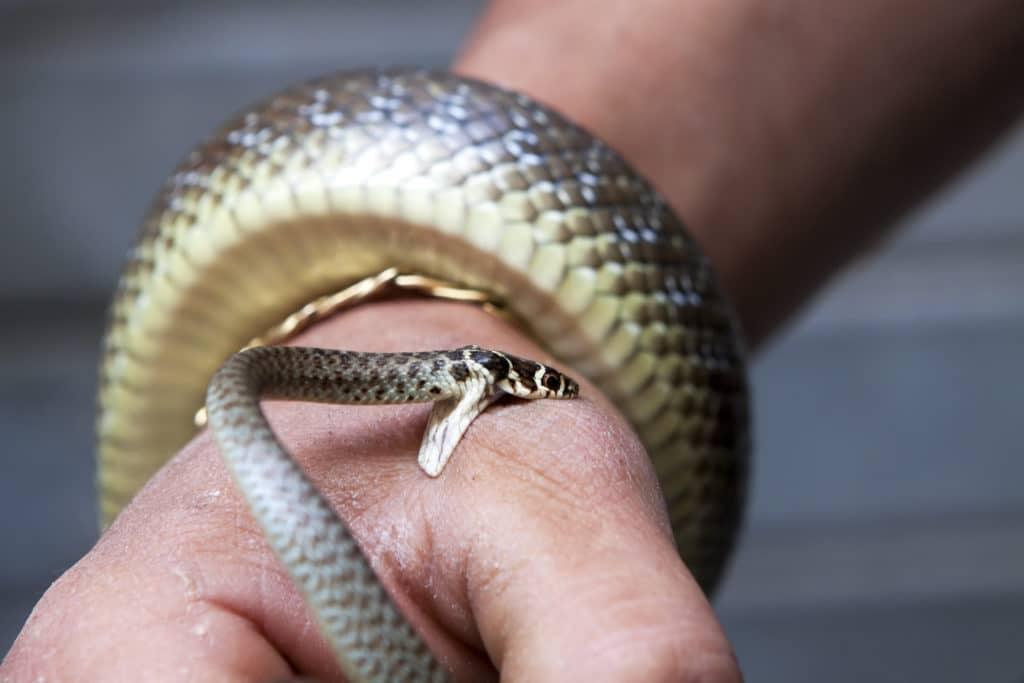 укус змеи симптомы