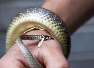 Симптомы, свидетельствующие о змеином укусе