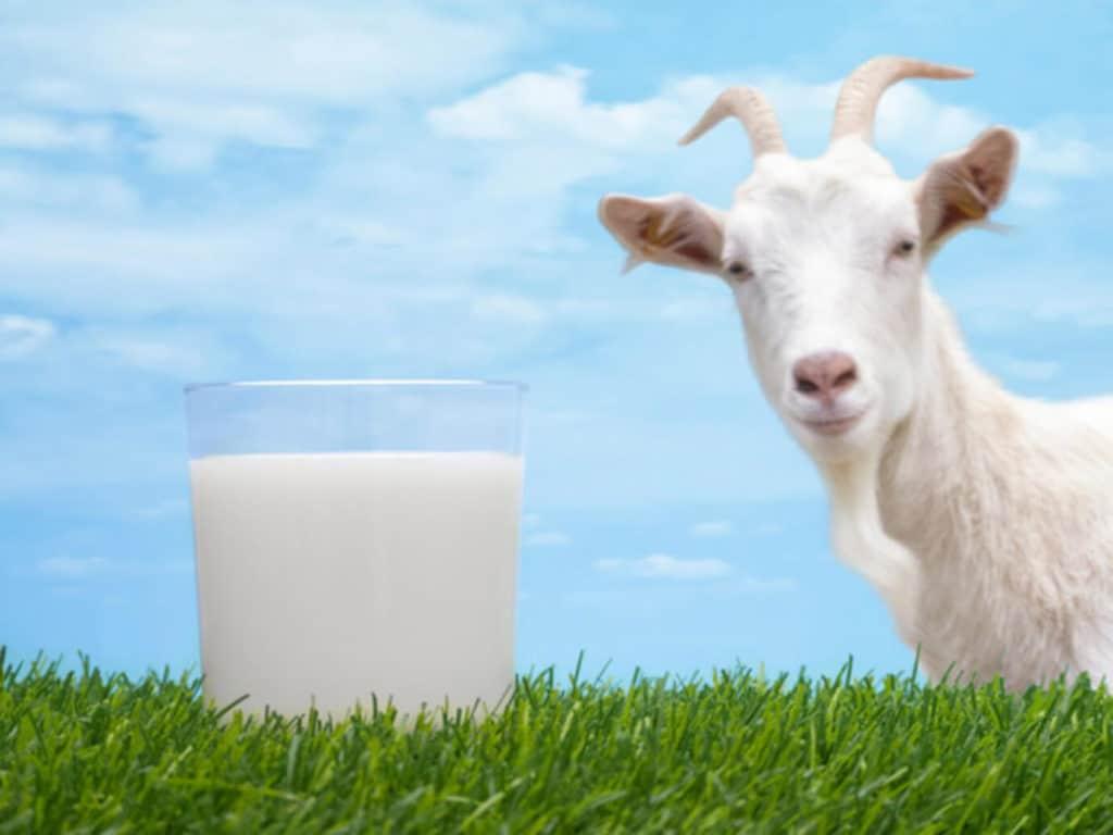 При язве двенадцатиперстной кишки рекомендовано пить козье молоко