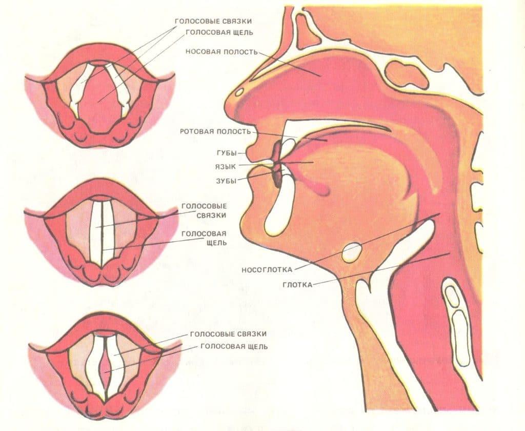 Строение гортани и голосовых связок