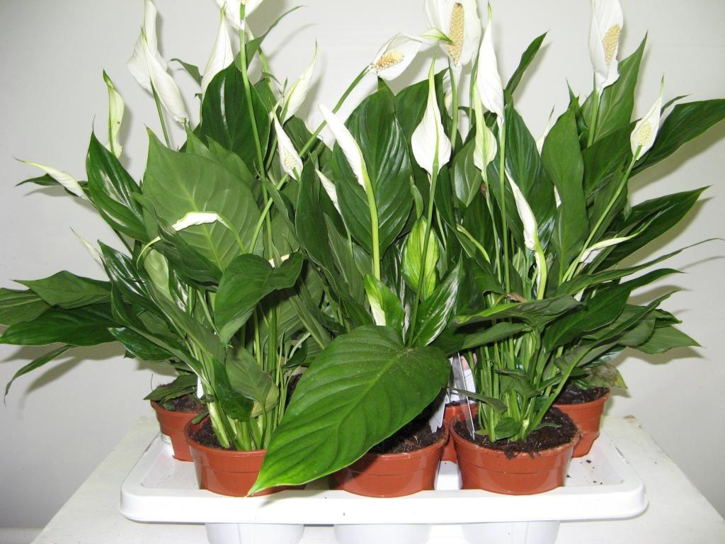 Гипоаллергенные домашние растения (Спатифиллум)