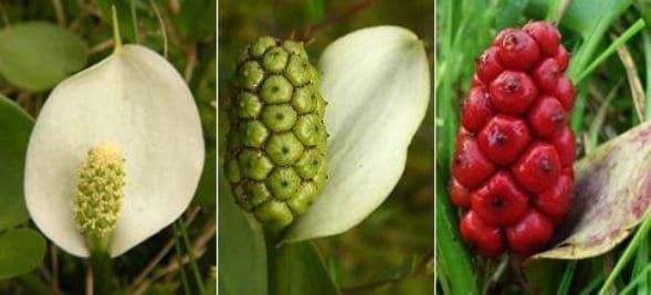 6 самых ядовитых ягод